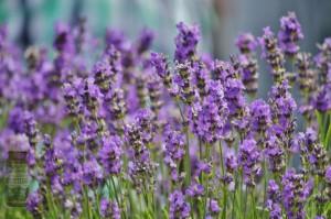 lavender s eo m 300x199